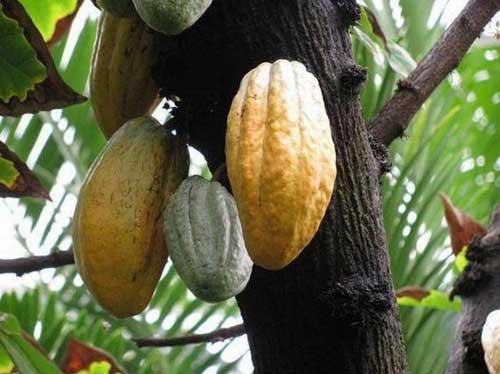 درخت کاکائو بیش از 150 ماده شیمیایی در برگ، دانه و میوه خود دارد. دانه درخت کاکائو ماده اصلی شکلات است.