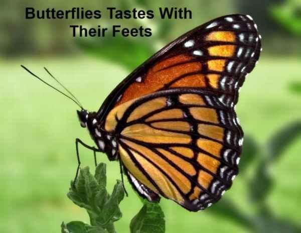 پروانه ها با پاهایشان می چشند!
