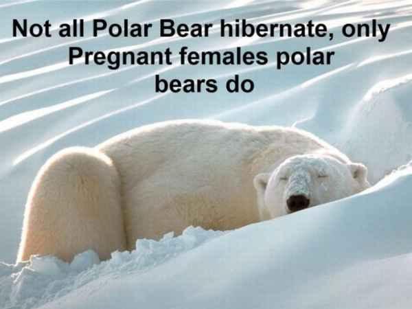 همه خرس های سفید به خواب زمستانی نمی روند فقط خرس های سفید باردار