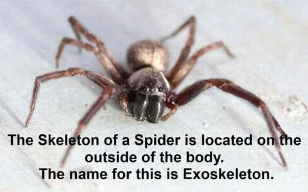استخوان بندی عنکبوت بیرون از بدنش قرار دارد. به این حالت استخوان بندی خارجی گفته می شود