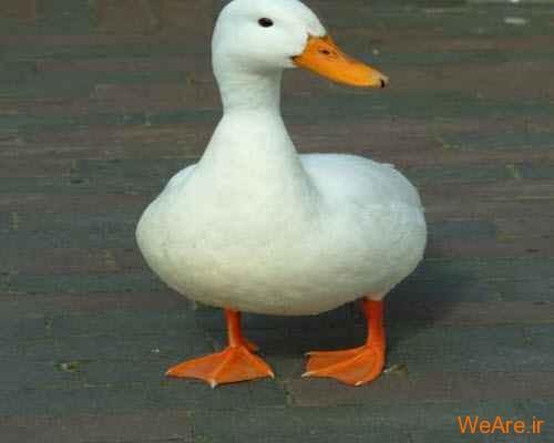 صدای اردک اکو نمی شود