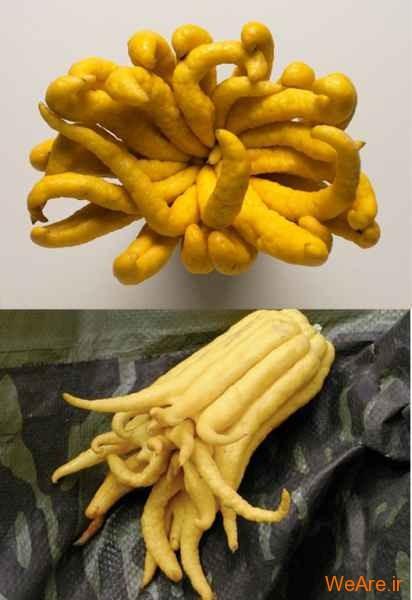 میوه دست بودا