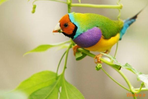 پرندگان رنگی زیبا (2)