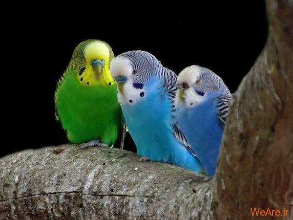 پرندگان رنگی زیبا (4)