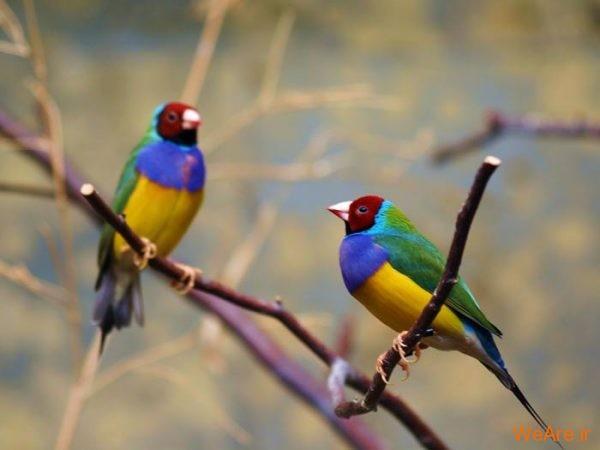 پرندگان رنگی زیبا (7)