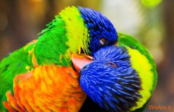 پرندگان رنگی زیبا (8)