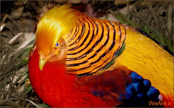 پرندگان رنگی زیبا (9)