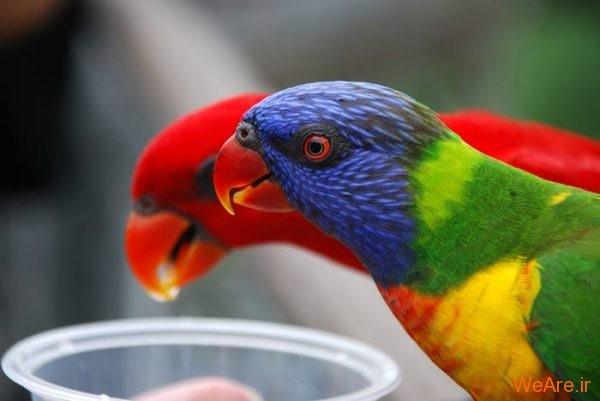 پرندگان رنگی زیبا (10)