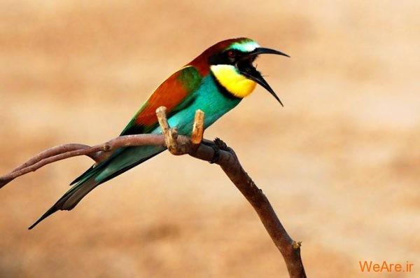 پرندگان رنگی زیبا (11)