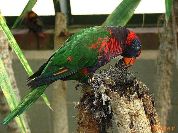 پرندگان رنگی زیبا (12)