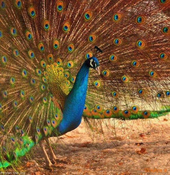 پرندگان رنگی زیبا (13)