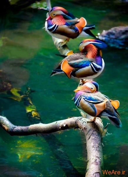 پرندگان رنگی زیبا (6)