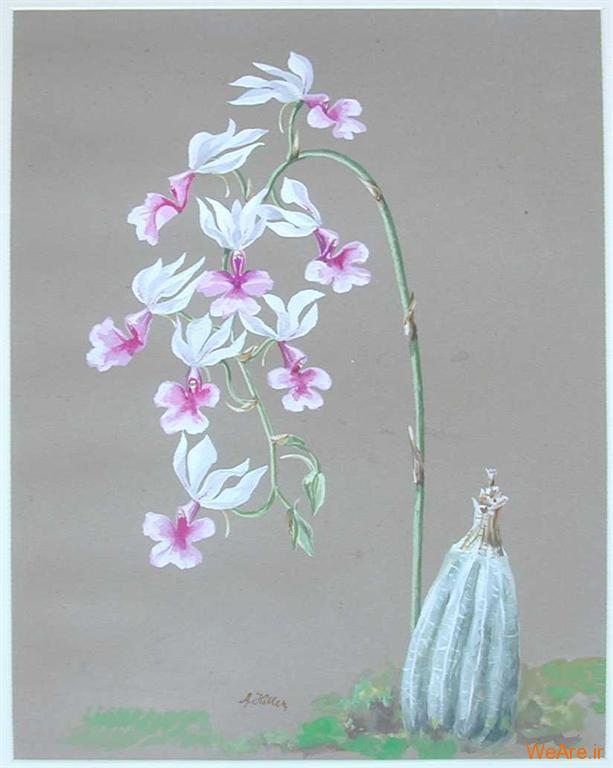 گلهای ارکیده سفید