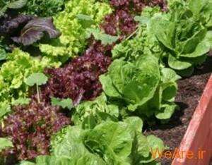 سبزیجات برگ دار