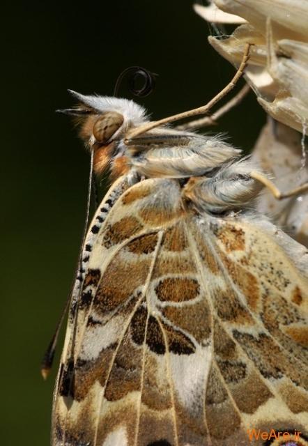 لحظه تولد پروانه (9)