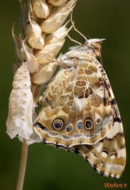 لحظه تولد پروانه (12)