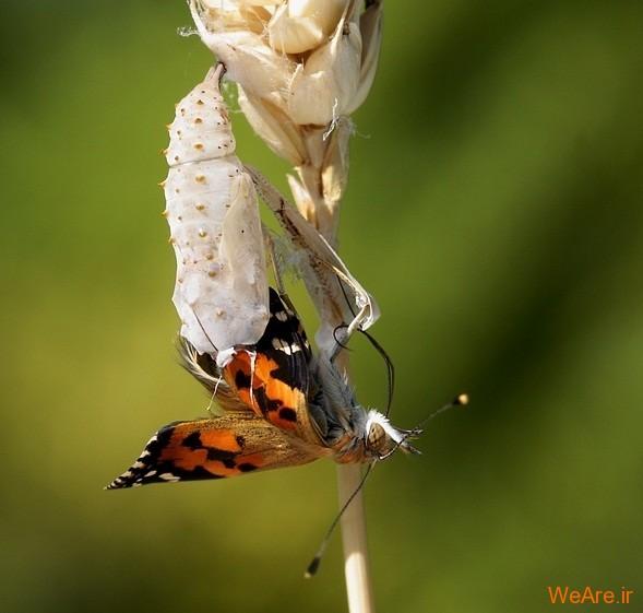 لحظه تولد پروانه (5)