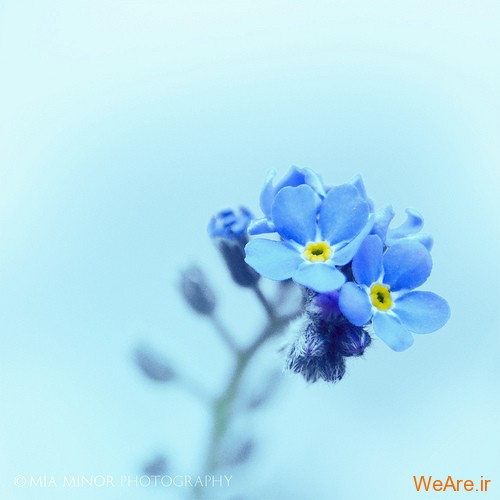 عکس گل های زیبا (12)