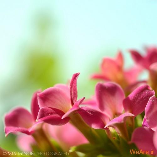 عکس گل های زیبا (5)