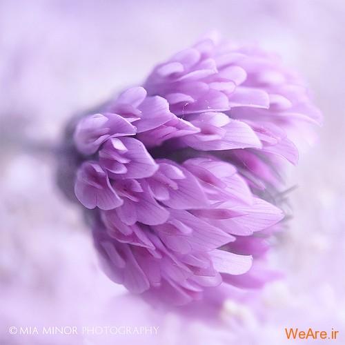 عکس گل های زیبا (7)