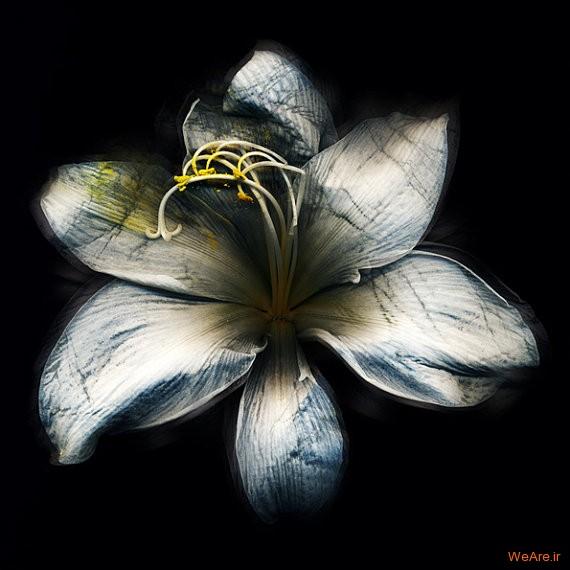 از تیره گل نرگس