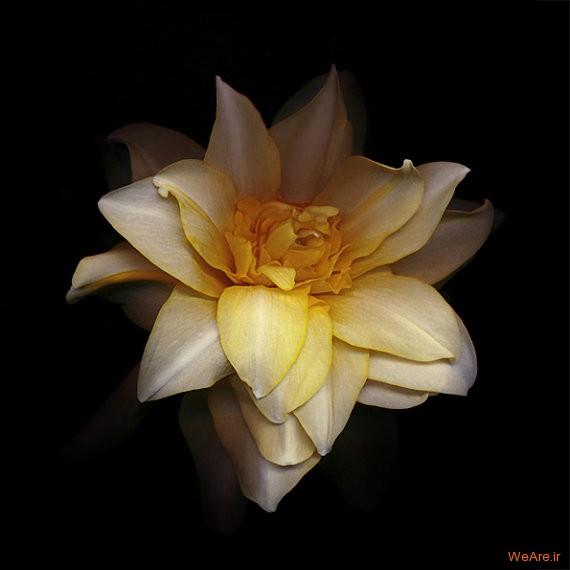 گلی از خانواده نرگس