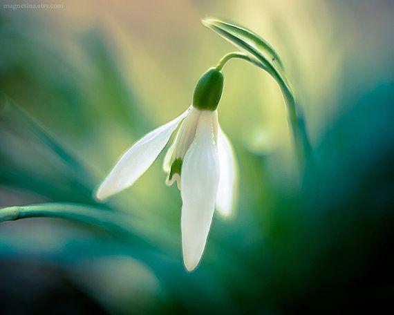 گل حسرت, گل امید, گل Snowdrops, Snowdrops  (6)