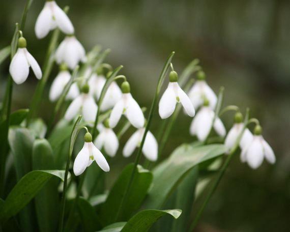 گل حسرت, گل امید, گل Snowdrops, Snowdrops  (7)