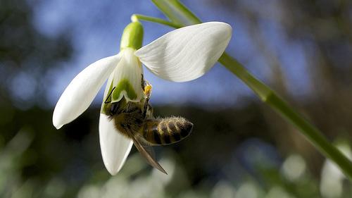 گل حسرت, گل امید, گل Snowdrops, Snowdrops  (10)