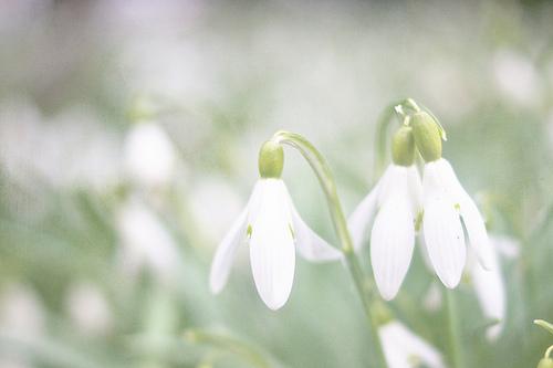 گل حسرت, گل امید, گل Snowdrops, Snowdrops  (11)