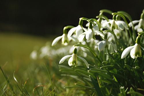 گل حسرت, گل امید, گل Snowdrops, Snowdrops  (12)