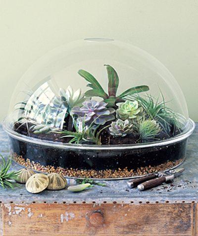 کاکتوس شیشه ای