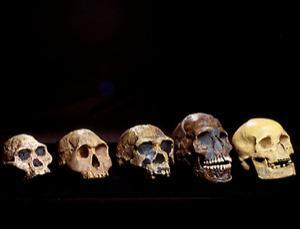 پنج جمجمه متعلق به برخی از نیاکان انسان مدرن در روند تکامل.