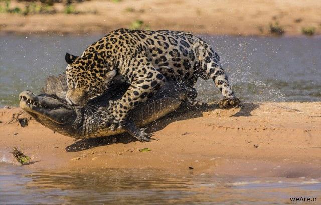 momen-menakjubkan-jaguar-menerkam-seekor-caiman-16-640x419
