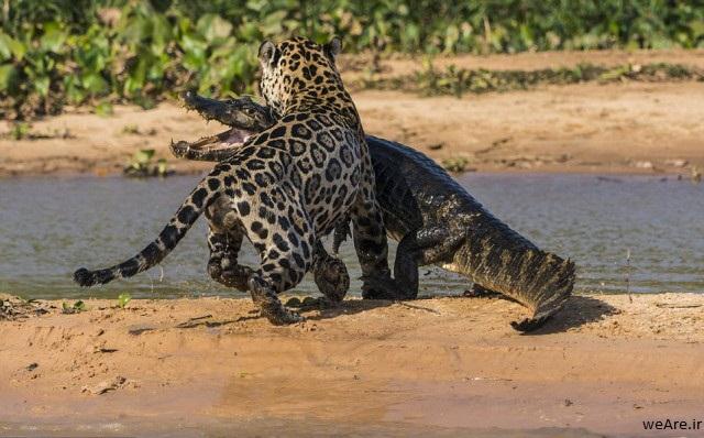 momen-menakjubkan-jaguar-menerkam-seekor-caiman-18-640x408