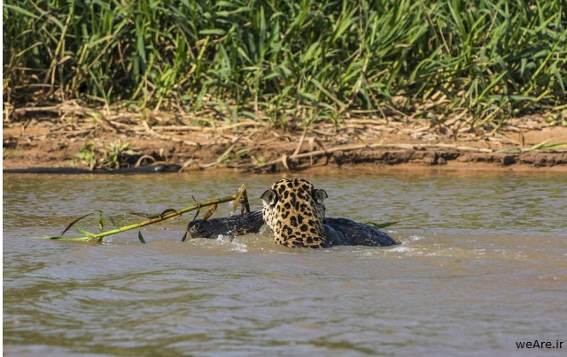 momen-menakjubkan-jaguar-menerkam-seekor-caiman-19-640x416