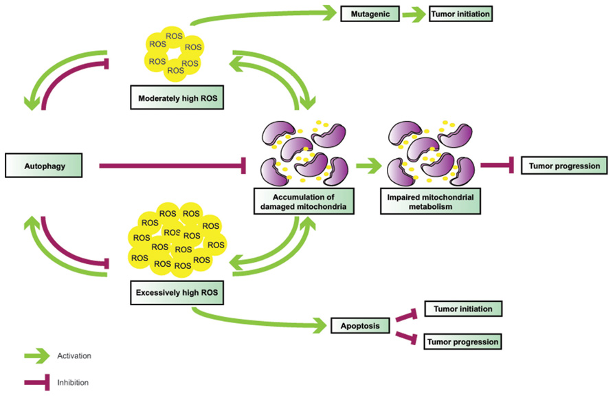 Reactive oxygen species (ROS) at physiological levels are important cell signaling molecules.