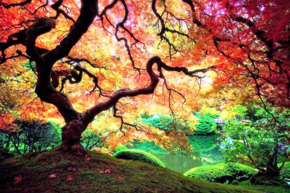 interesting-pictures-japanese-maple-tree