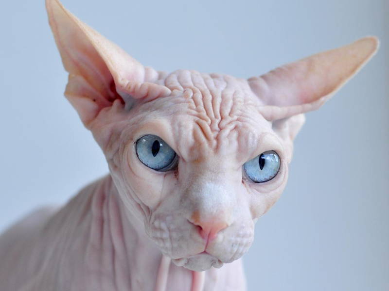 interesting-pictures-ugliest-cats