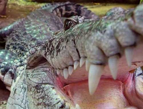 تمساح می تواتد در طول زندگی خود یش از 3000 دندان درآورد.