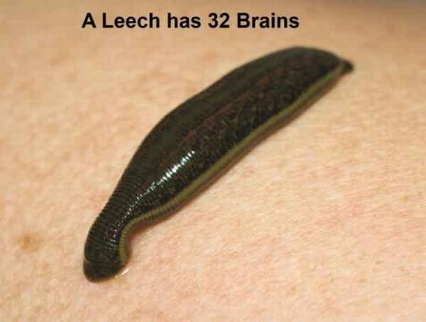 زالو 32 مغز دارد!