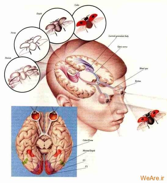 چشم و مغز