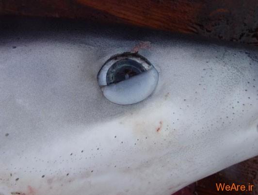 پلک سوم چشمی غشای چشمک زدن (Nictitating Membrane The Third Eyelid)
