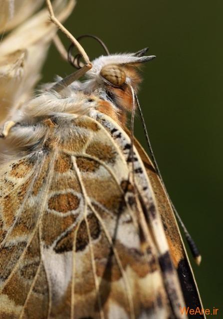 لحظه تولد پروانه (10)