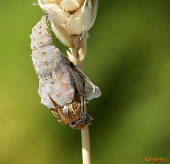 لحظه تولد پروانه (2)