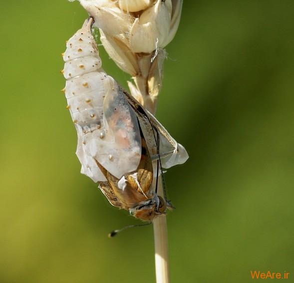 لحظه تولد پروانه (3)