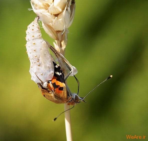 لحظه تولد پروانه (4)