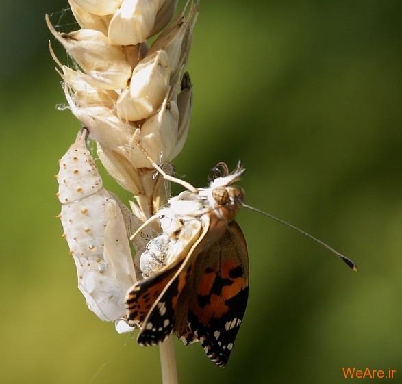 لحظه تولد پروانه (6)