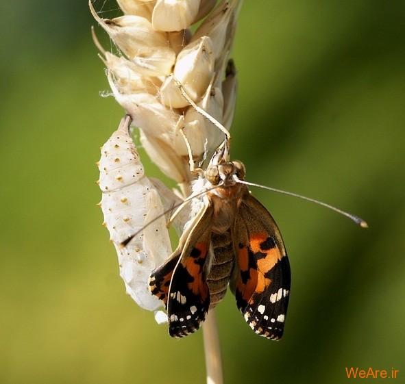 لحظه تولد پروانه (7)