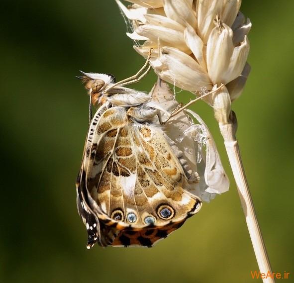 لحظه تولد پروانه (8)